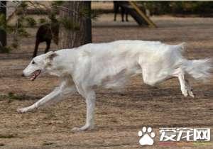 a_苏俄猎狼犬一般多少钱 价格是500到3500元[新闻]