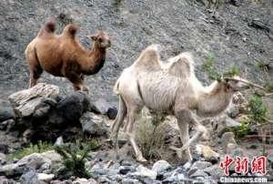 a_新疆:天山南麓首次发现野骆驼种群[新闻]