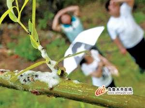 """资讯生活乌鲁木齐:度假村柳树""""落泪"""" 原是白色蛀虫在作怪"""